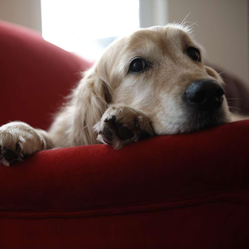 Hund som er forsikret i Frende slapper av i sofaen