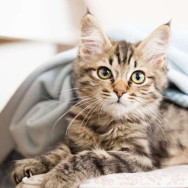 Katt med katteforsikring i Frende slapper av under pleddet