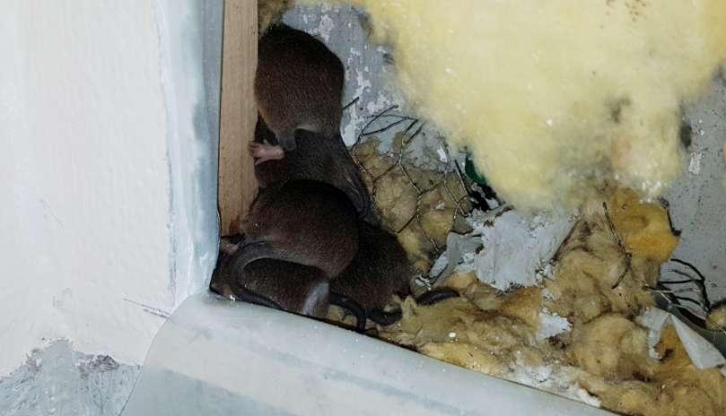 Rotter i hus