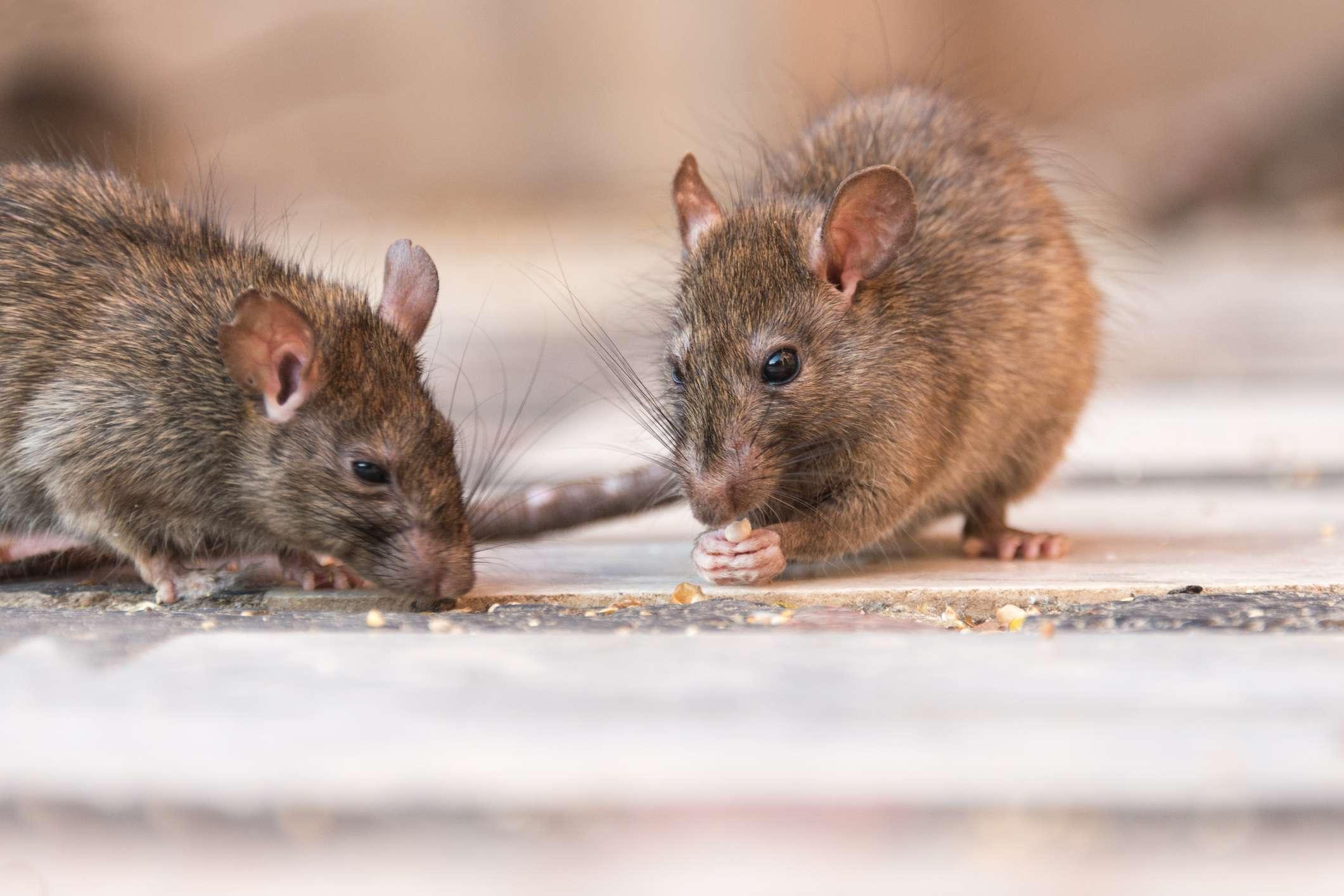Rotter som spiser - kjøp råte- og skadedyrsforsikring i Frende